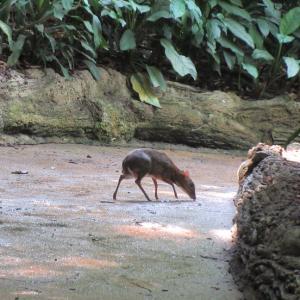 動物園が好き ♪  森の妖精マメジカさん