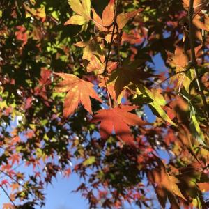 宮ヶ瀬の紅葉も はじまったよ ~♪