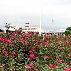山下公園の赤いバラ