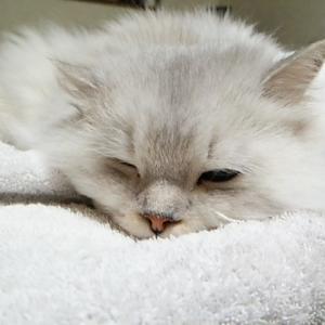 枕の上で、気持ち良さそうに眠る、フワリン君!!