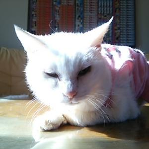 テーブルの上で寝ていた、御長寿猫シロちゃん!!