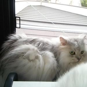 本日の、出窓で涼んでいた、フワリン君!!
