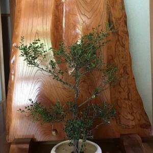 剪定の木と椿の実