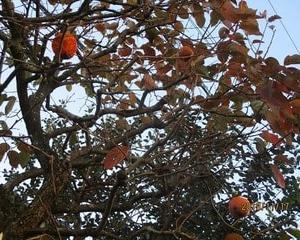 柿の紅葉と木守柿