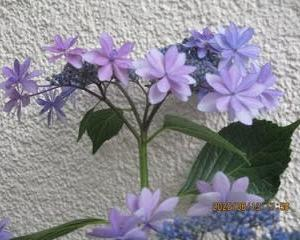 ガクアジサイの花をアップする。