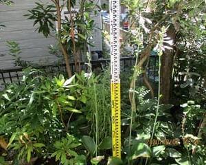 ギボウシ・ 長大銀葉 と 天竜 の長い花茎