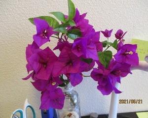 緊張感を持った業務、ベランダ園芸、そしてブーゲンビリアの花