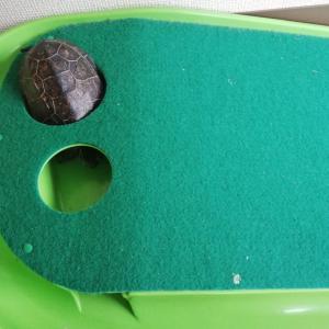 パターマットに隠れる亀ちゃん。