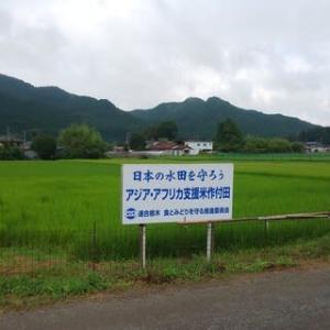 アジアアフリカ支援米生育報告