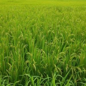 アジアアフリカ支援米、田植えから3か月。