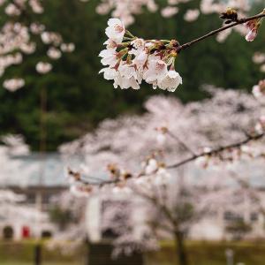 3/31 雨の中の桜(熊野市神川町)
