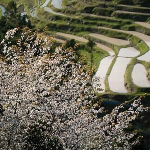 2020年4月4日 丸山千枚田の桜(熊野市紀和町丸山)