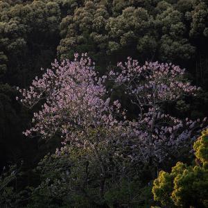 2020年4月28日 桐の花