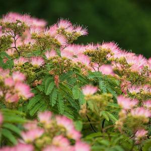 2020.6.21 ネムノキの花(熊野市紀和町)