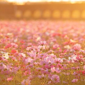 2020.10.24 秋桜(御浜町上市木)