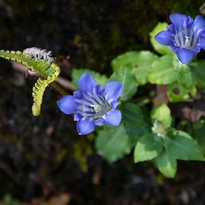2020.10.25 アサマリンドウ、柿、ススキ、クマノザクラの葉(熊野市紀和町)