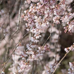 2021.3.15 熊野市飛鳥町本乗寺 枝垂れ桜