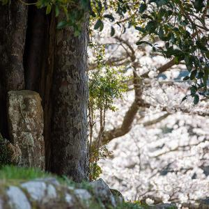 2021.3.27 長全寺の桜(熊野市紀和町)