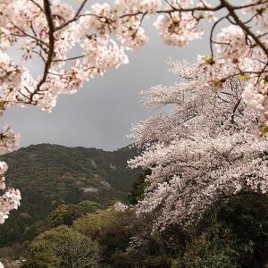 2021.4.2 熊野市金山町 普門寺の桜