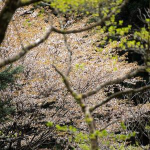 2021.4.15 玉置山へ桜の花見