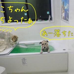 犬も慌てりゃ湯に落ちる