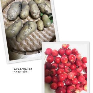 ジャガイモの初収穫