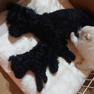 黒いトイプードルの子犬