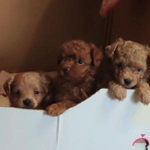 生後1ヶ月 ポメプー(ミックス犬)