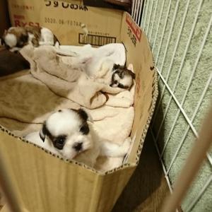 シーズーとプードルのMIX犬『シープー』