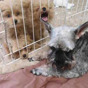 子犬たちのイタズラに耐えるシュナウザー