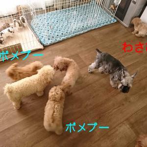 『ポメプー』ポメラニアン×プードル ミックス犬