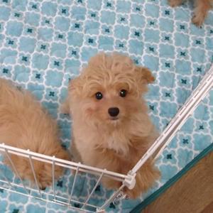 ご家族募集中☆ミックス犬ポメプー