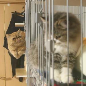 『新入り翡翠と先住猫ブチャラティのファーストコンタクト』を更新