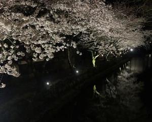 八幡堀の夜桜