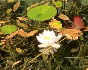 モネの池1