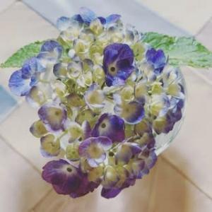 今日も紫陽花