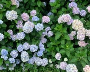 鹿嶋神社の紫陽花2