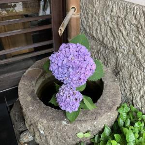 桐屋権現亭 店先にあじさいの花