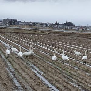 田んぼに白鳥 2021.3.15