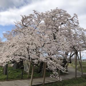 会津 石部桜 満開 2021.4.6