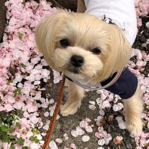 桜の絨毯2021