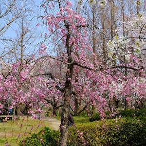 桜2(鳥屋野潟)