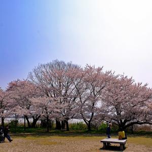 桜3(鳥屋野潟)