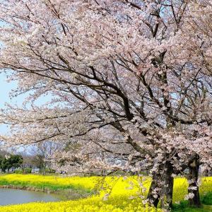 菜の花と桜(上堰潟)