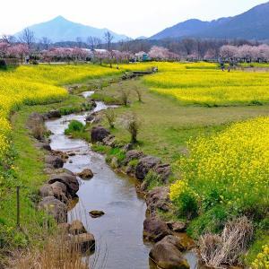 菜の花と桜2(上堰潟)