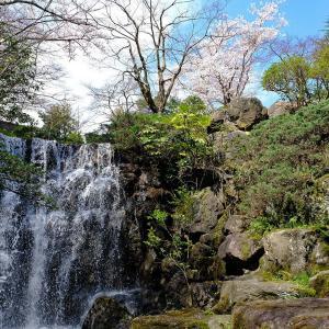 桜(赤坂山公園)