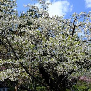 桜2(弥彦神社)
