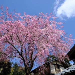 しだれ桜(弥彦村内)