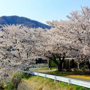 弥彦村内の桜