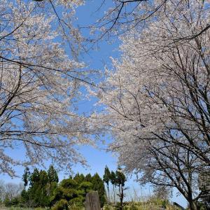 弥彦村内の桜2
